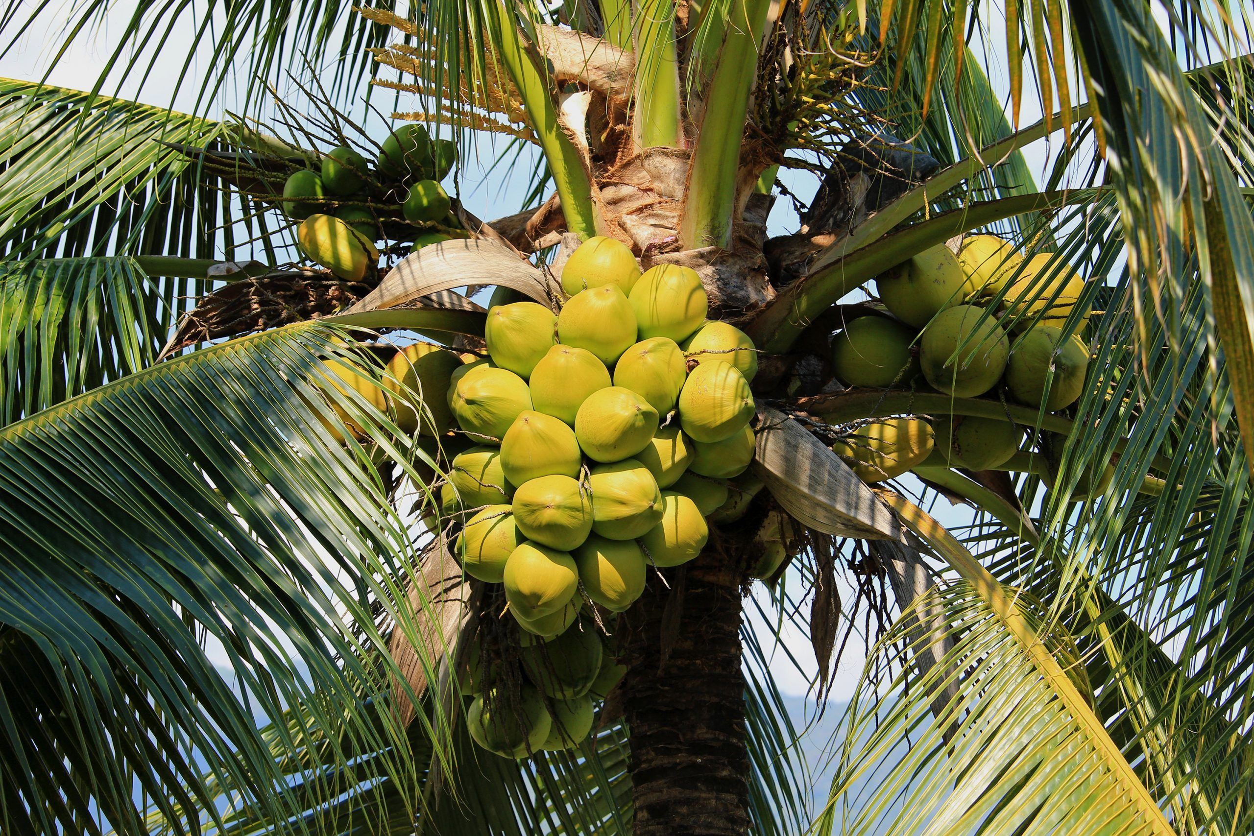 Why You Need A Coconut Palm Tree In Florida - Garden Florida