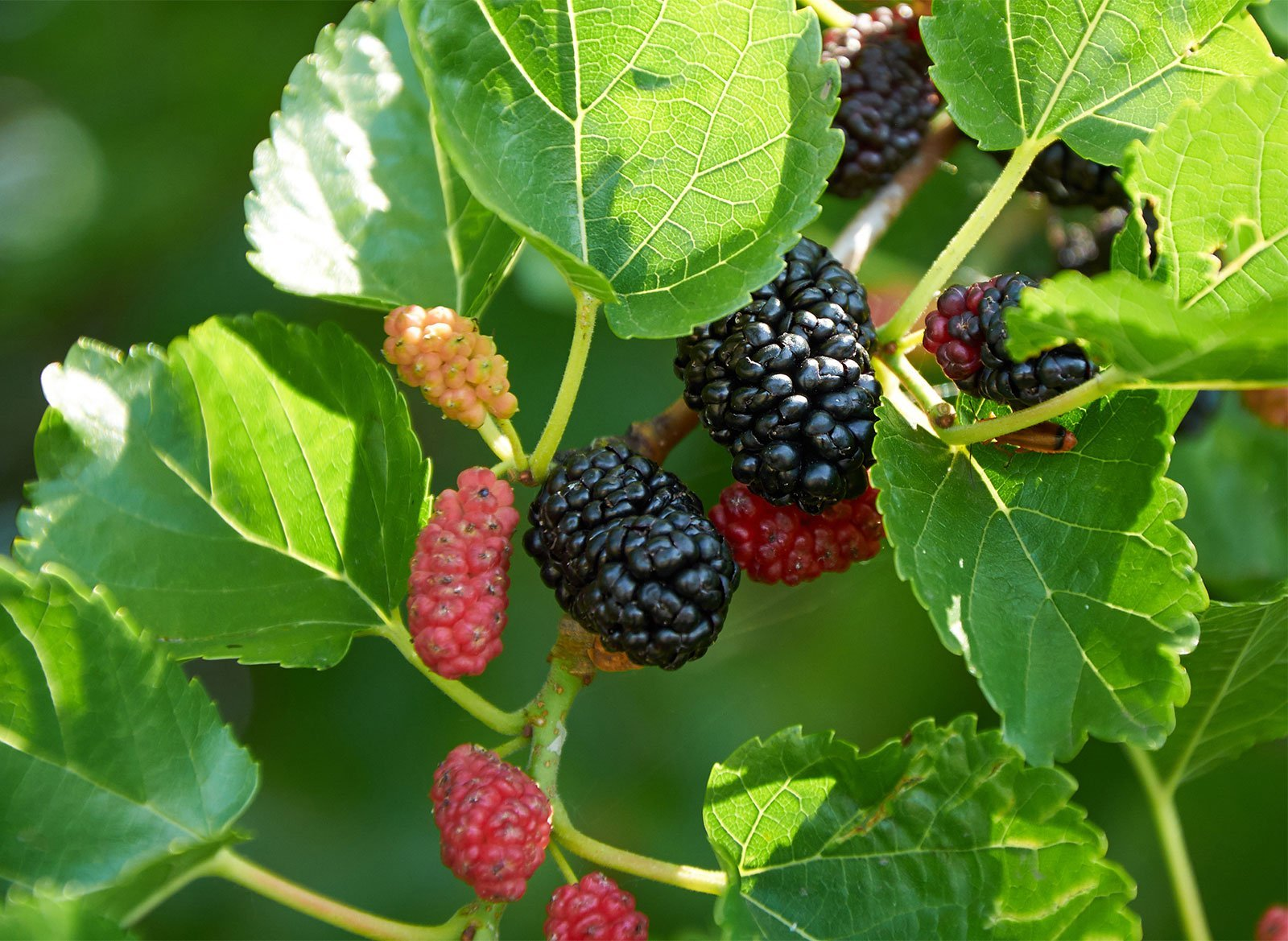 Growing Mulberry In Florida