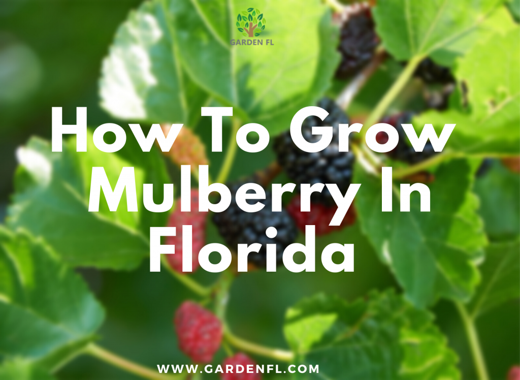 Challenges of growing mulberry