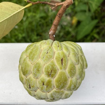 Na_dai_Vietnamese_Sugar_Apple